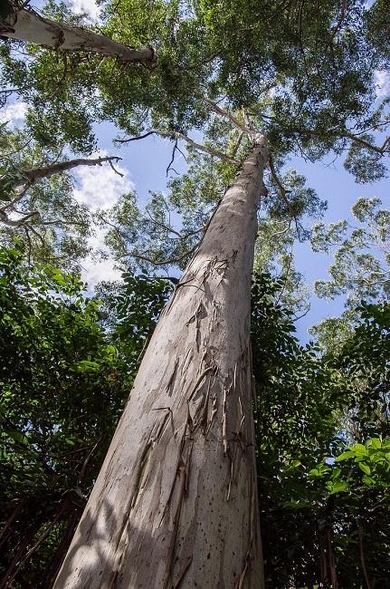 эвкалипт ствол дерева