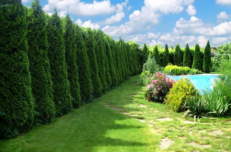 быстрорастущие хвойные для живой изгороди