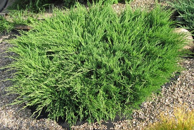 Можжевельник горизонтальный (Juniperus horizontalis)