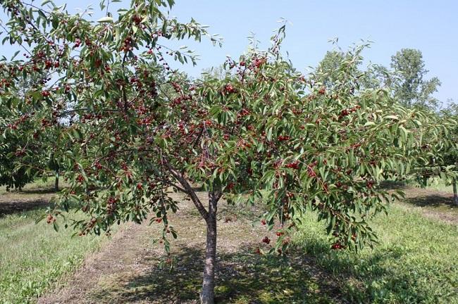черешня в саду