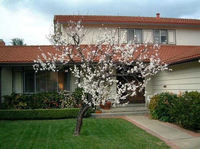 цветущий абрикос на участке