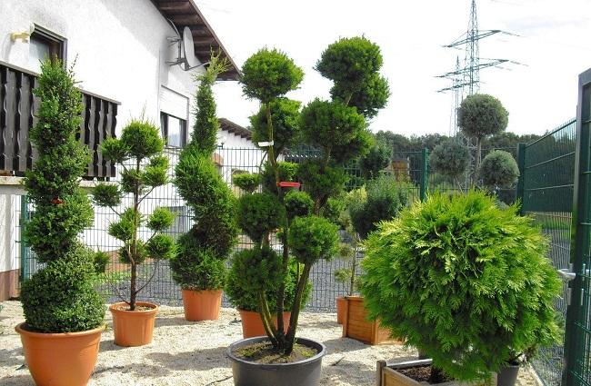 декоративные хвойные деревья