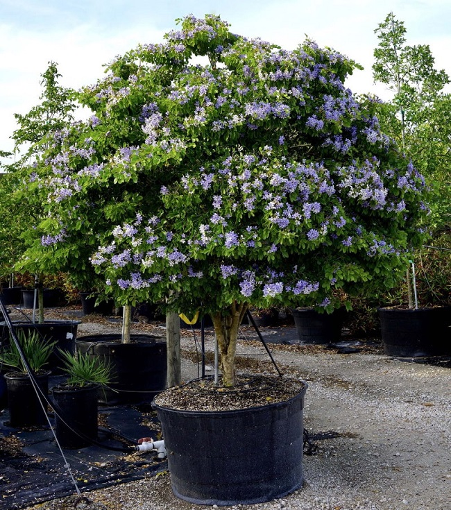 гваякум дерево