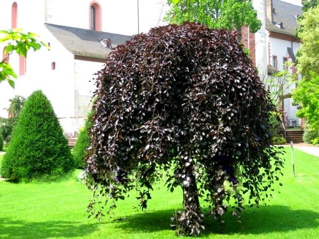 бук дерево декоративный