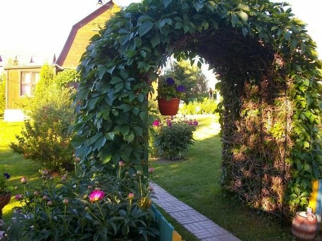 дикий виноград на арке