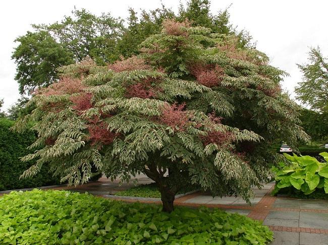 аралия дерево
