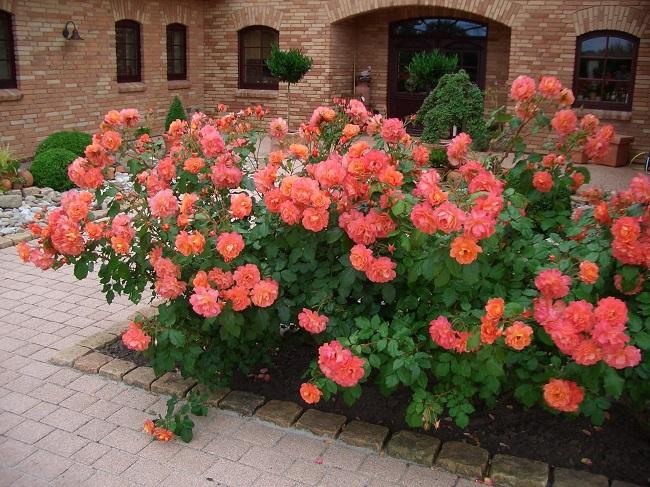 розы шраб во дворе частного дома