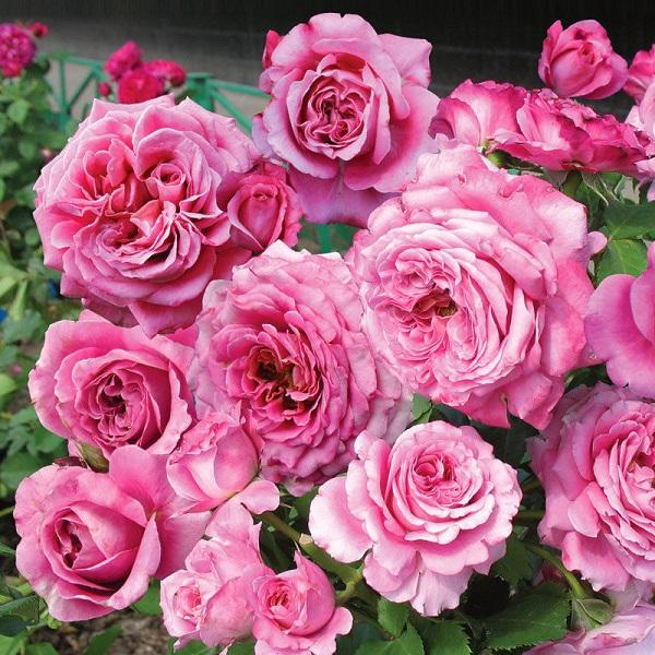 роза Агнес Шиллигер