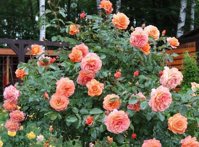 розы шрабы на даче