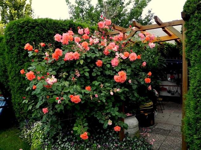 розы шраб на перголе