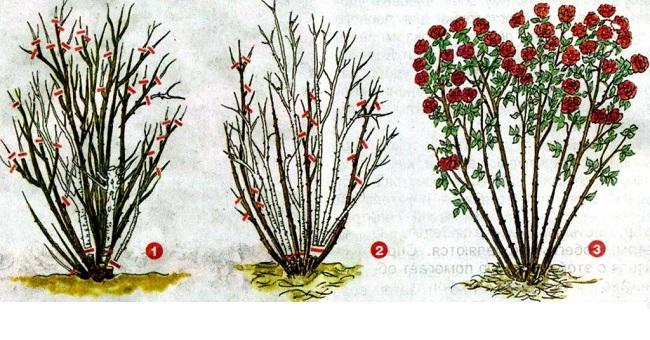 обрезка роз шраб весной