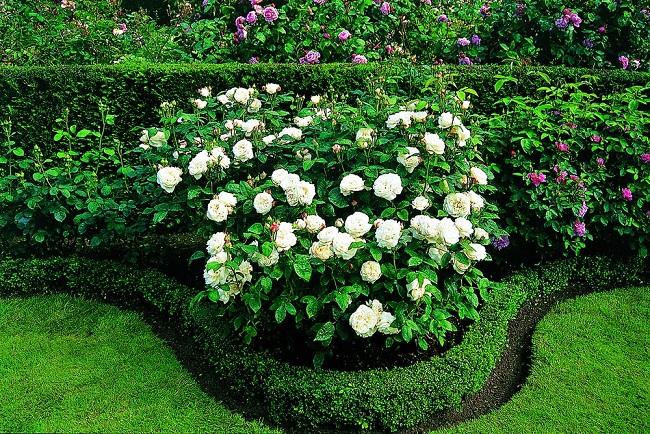 розы шраб в клумбе