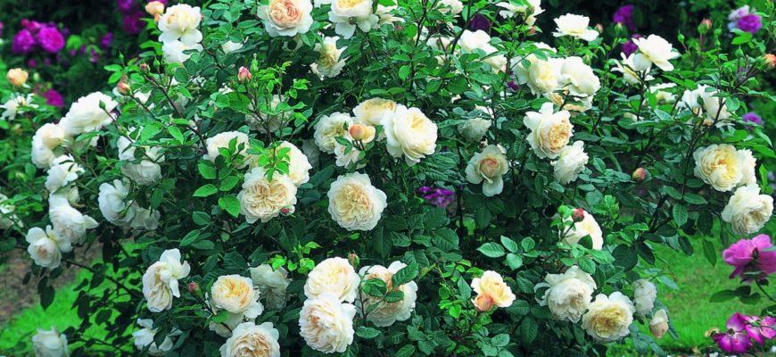 розы шрабы в ландшафтном дизайне