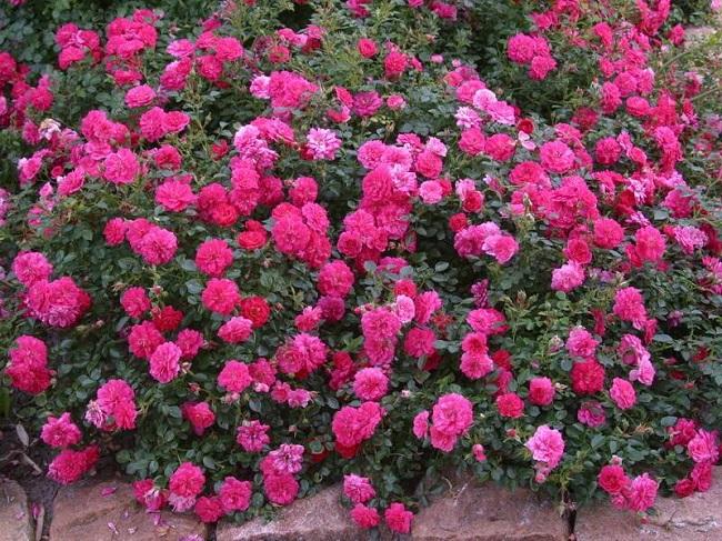 стелющиеся розы шрабы