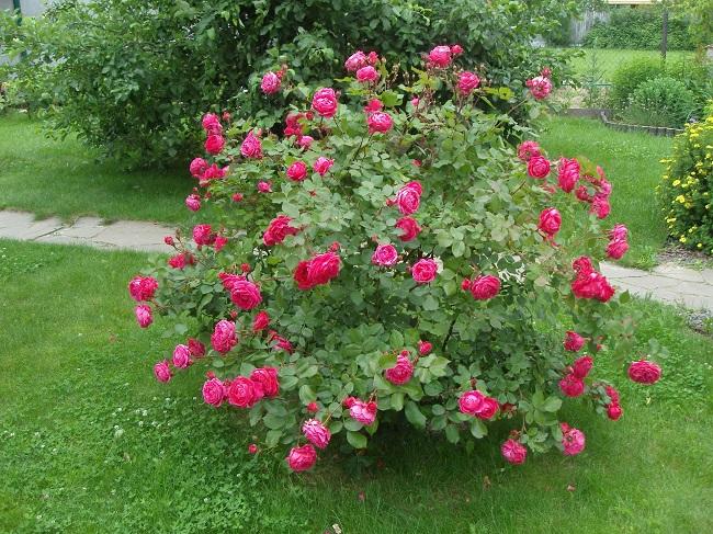 розы шраб на газоне