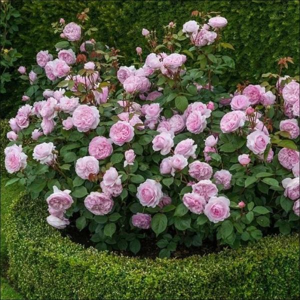 розы шрабы в саду