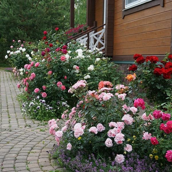 розы шраб на крыльце перед домом