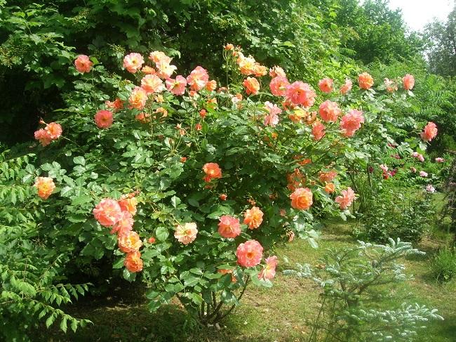 розы шрабы на участке