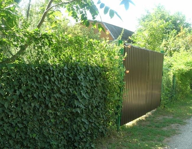 вьющиеся на заборе