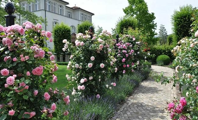 розы шраб в вертикальном озеленении