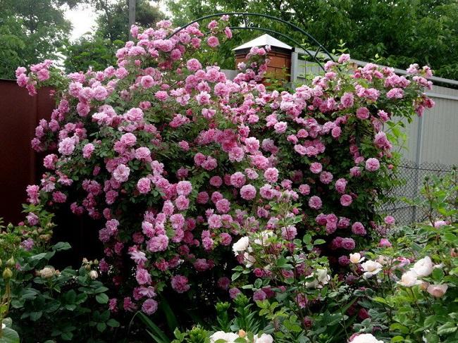 розы шраб на арках