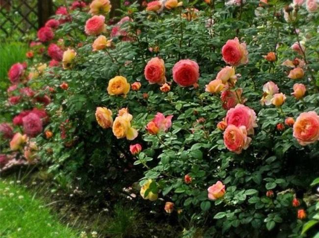 розы шраб в тени