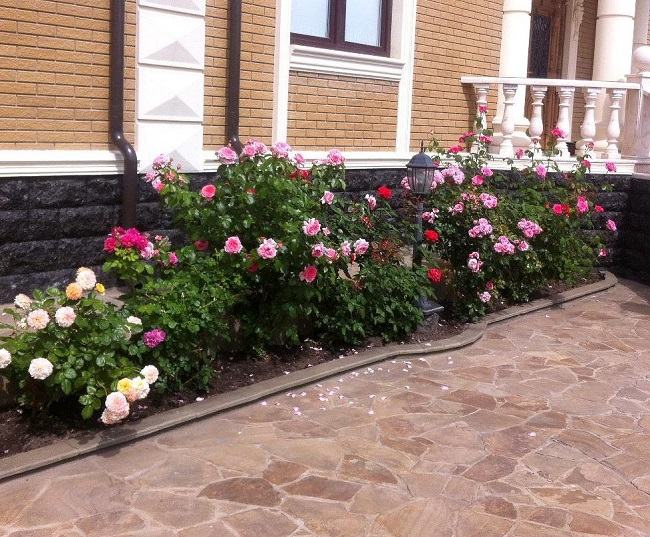 розы шрабы перед домом