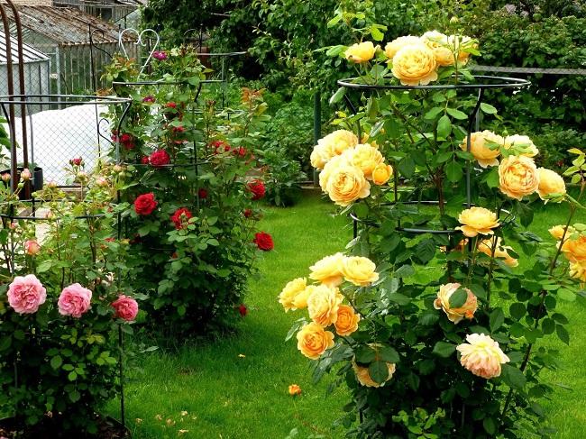 розы шраб подвязанные к опорам