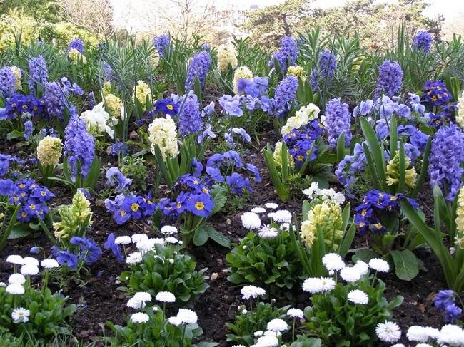 синие цветы на клумбе