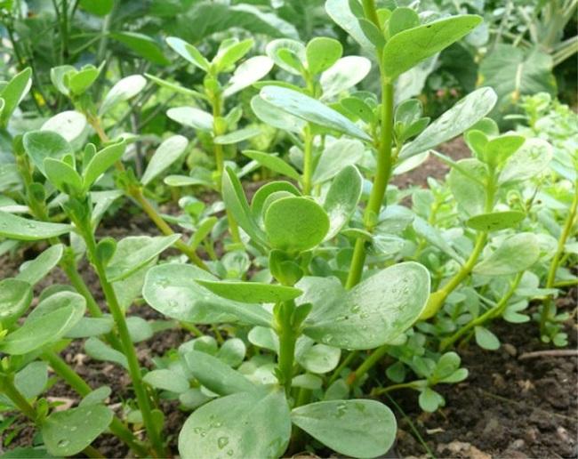 выращивание портулака огородного