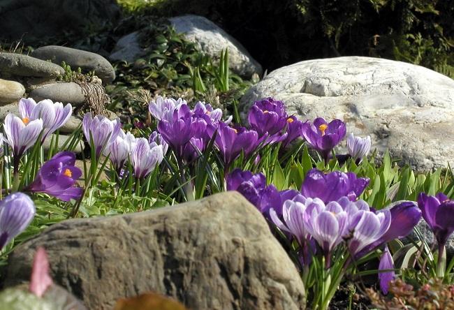 крокусы на альпийской горке в саду