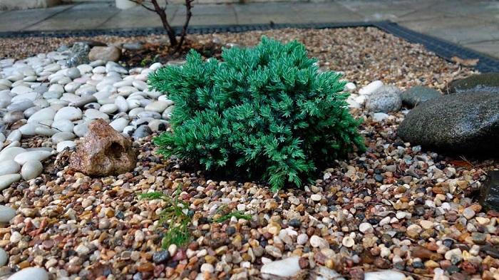 карликовые хвойные в каменистом саду