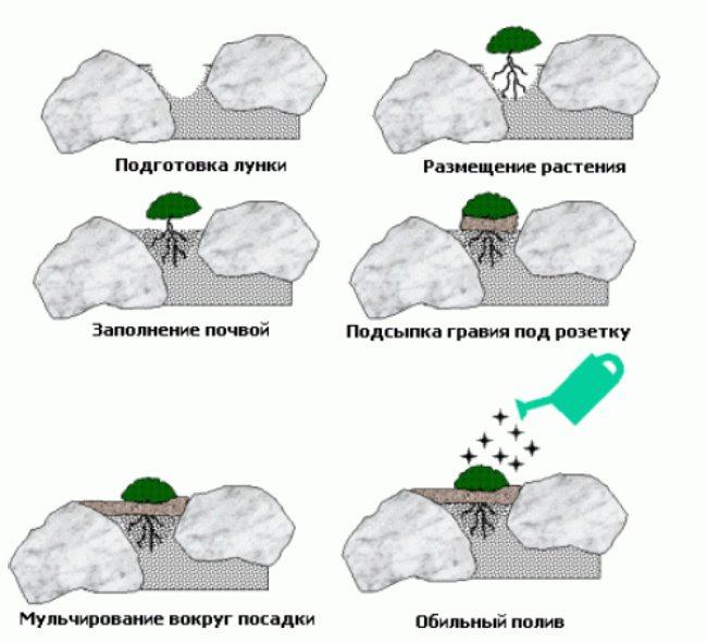 высадка растений между камнями